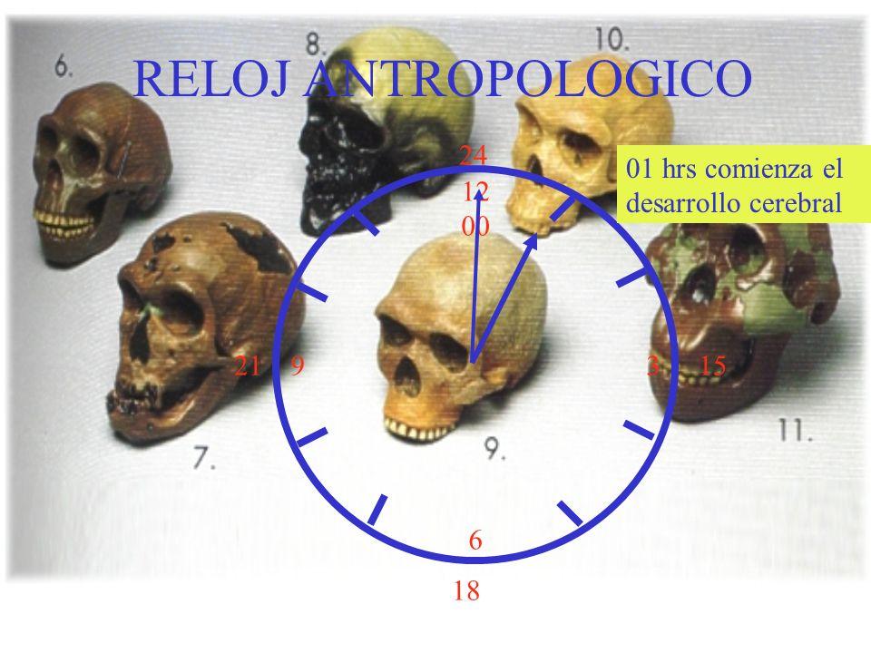 RELOJ ANTROPOLOGICO 24 01 hrs comienza el desarrollo cerebral 12 00 3