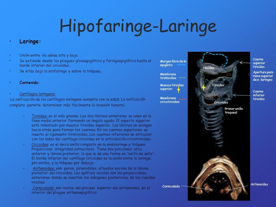 Hipofaringe-Laringe Laringe: Unión entre vía aérea alta y baja.