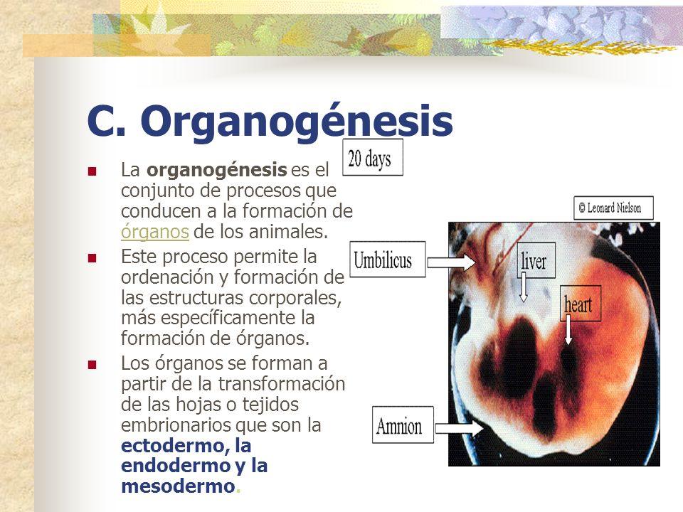 C. Organogénesis La organogénesis es el conjunto de procesos que conducen a la formación de órganos de los animales.