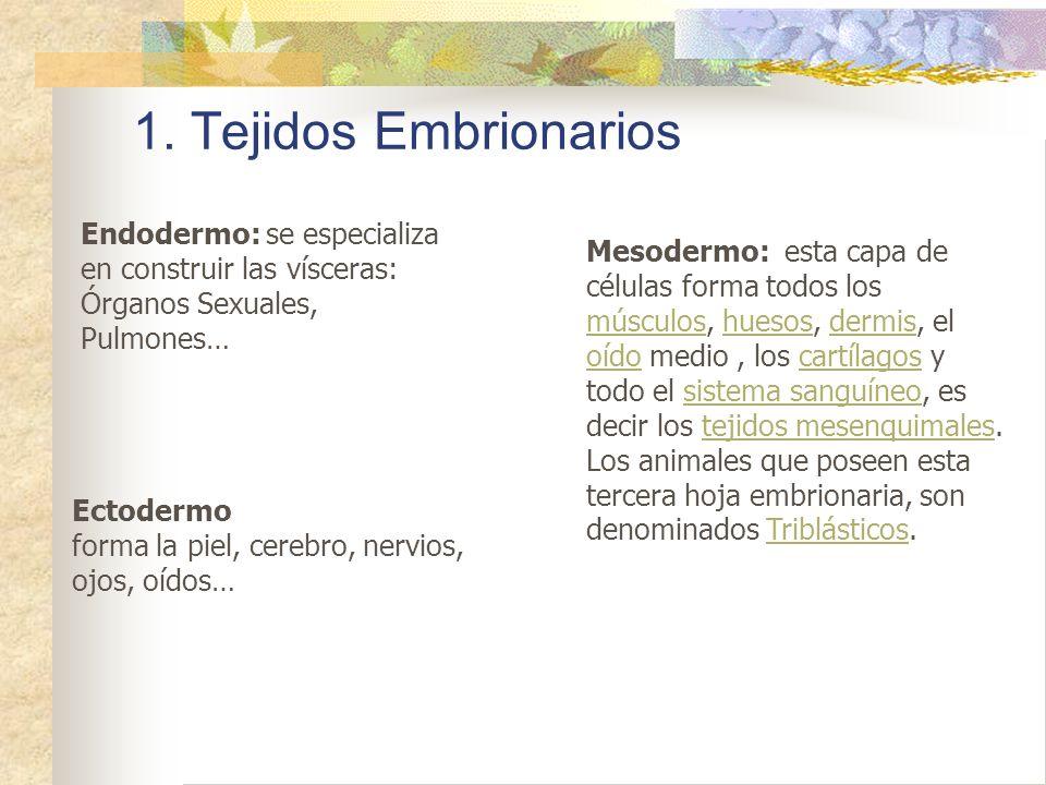 1. Tejidos Embrionarios Endodermo: se especializa en construir las vísceras: Órganos Sexuales, Pulmones…