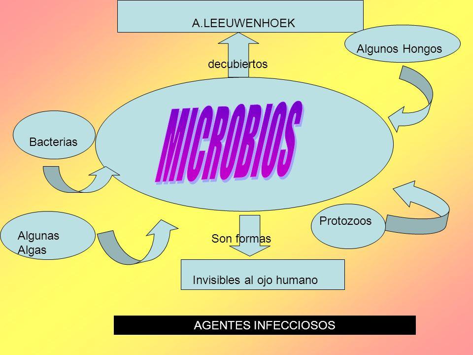 MICROBIOS A.LEEUWENHOEK Algunos Hongos decubiertos Bacterias Protozoos