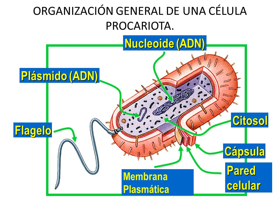ORGANIZACIÓN GENERAL DE UNA CÉLULA PROCARIOTA.