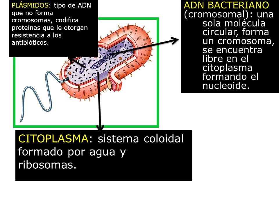 CITOPLASMA: sistema coloidal formado por agua y ribosomas.