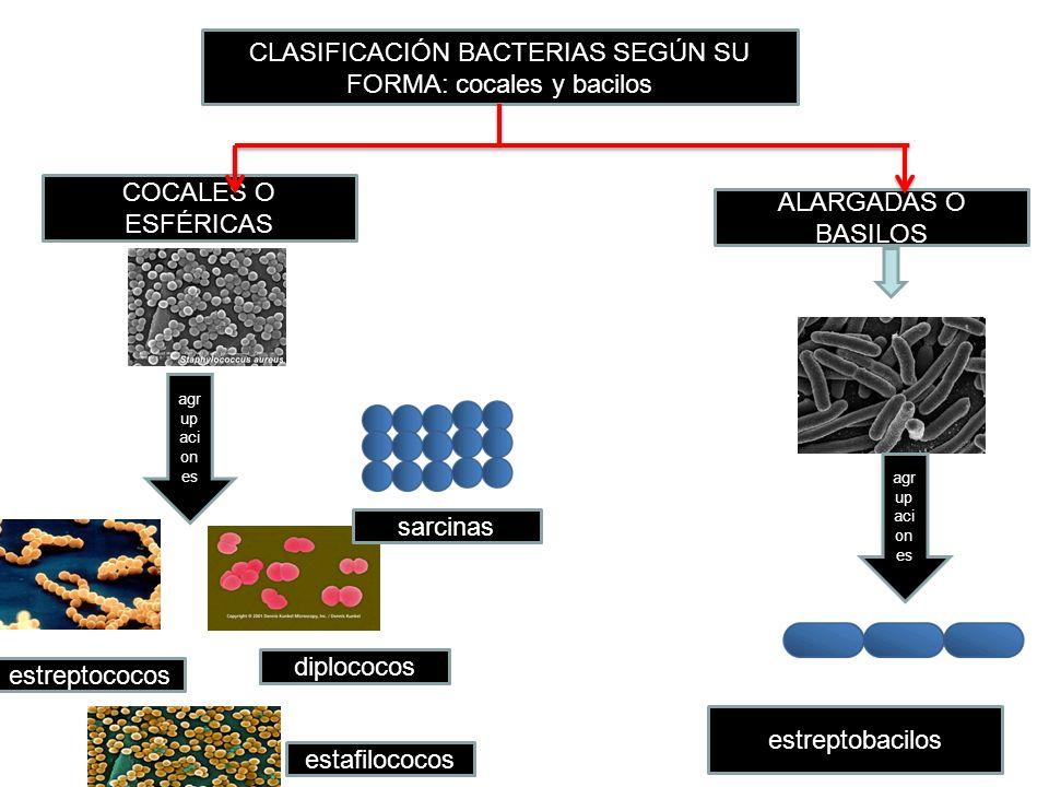 CLASIFICACIÓN BACTERIAS SEGÚN SU FORMA: cocales y bacilos