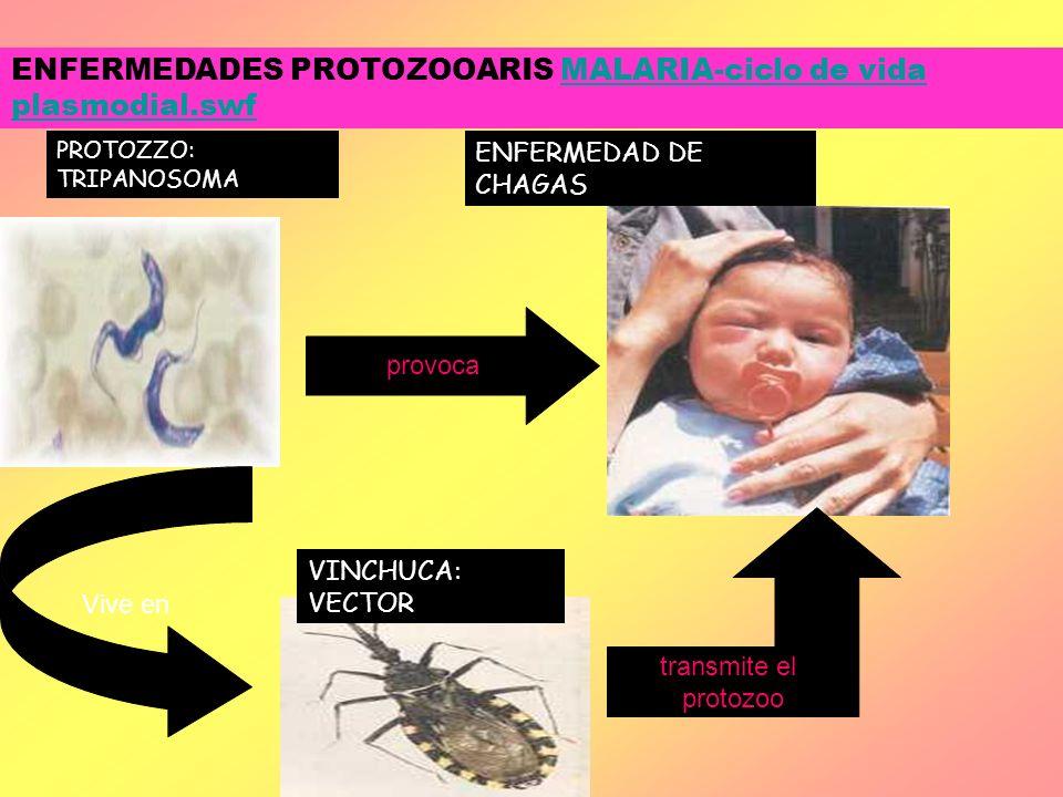 ENFERMEDADES PROTOZOOARIS MALARIA-ciclo de vida plasmodial.swf