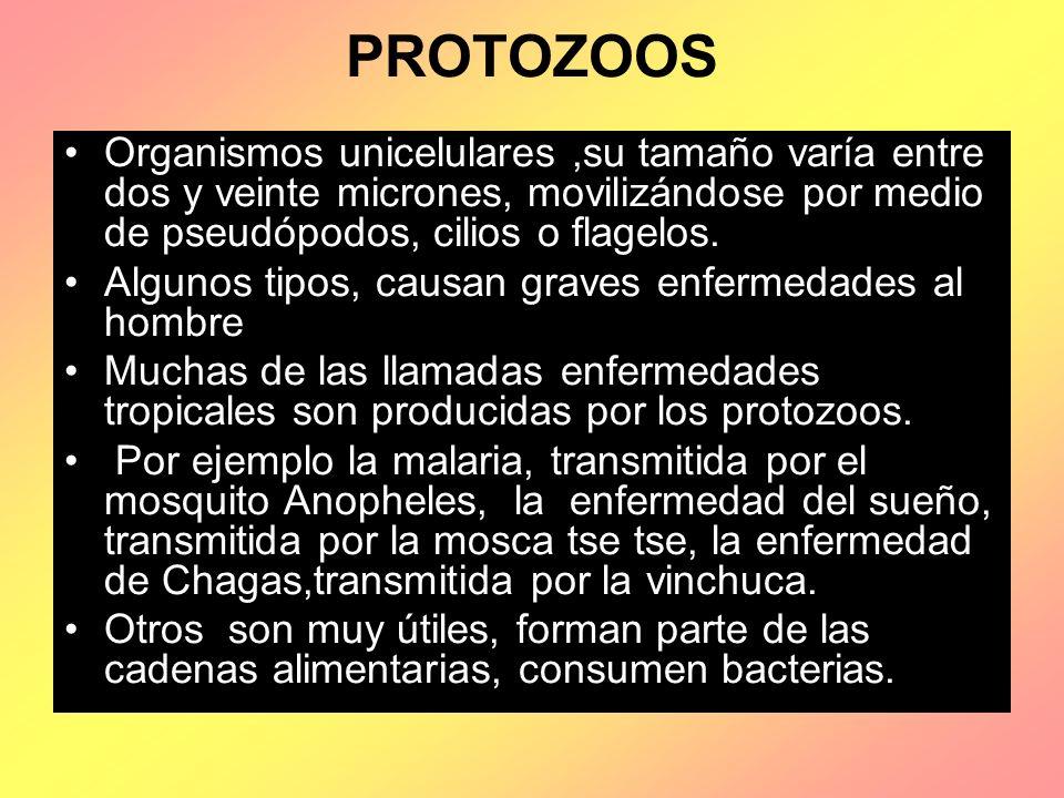 PROTOZOOS Organismos unicelulares ,su tamaño varía entre dos y veinte micrones, movilizándose por medio de pseudópodos, cilios o flagelos.