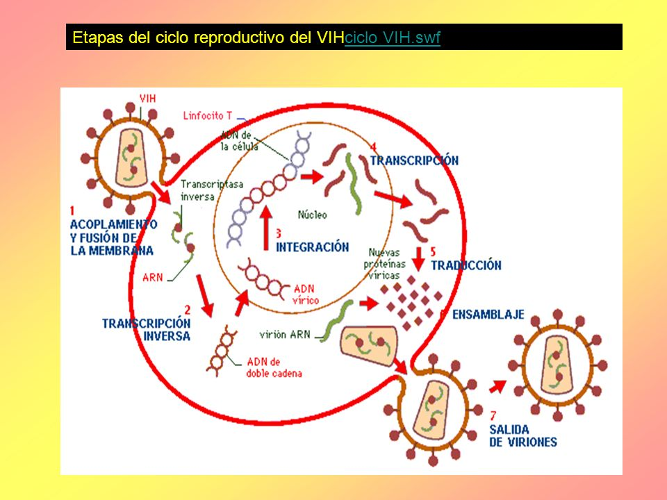 Etapas del ciclo reproductivo del VIHciclo VIH.swf