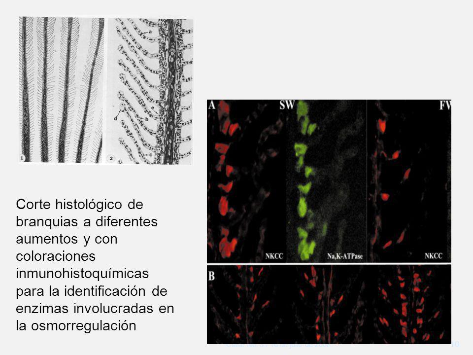 Corte histológico de branquias a diferentes aumentos y con coloraciones inmunohistoquímicas para la identificación de enzimas involucradas en la osmorregulación