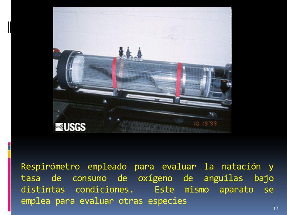 Respirómetro empleado para evaluar la natación y tasa de consumo de oxígeno de anguilas bajo distintas condiciones.