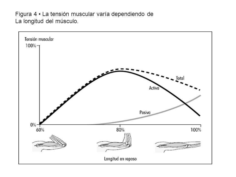 Figura 4 • La tensión muscular varía dependiendo de La longitud del músculo.