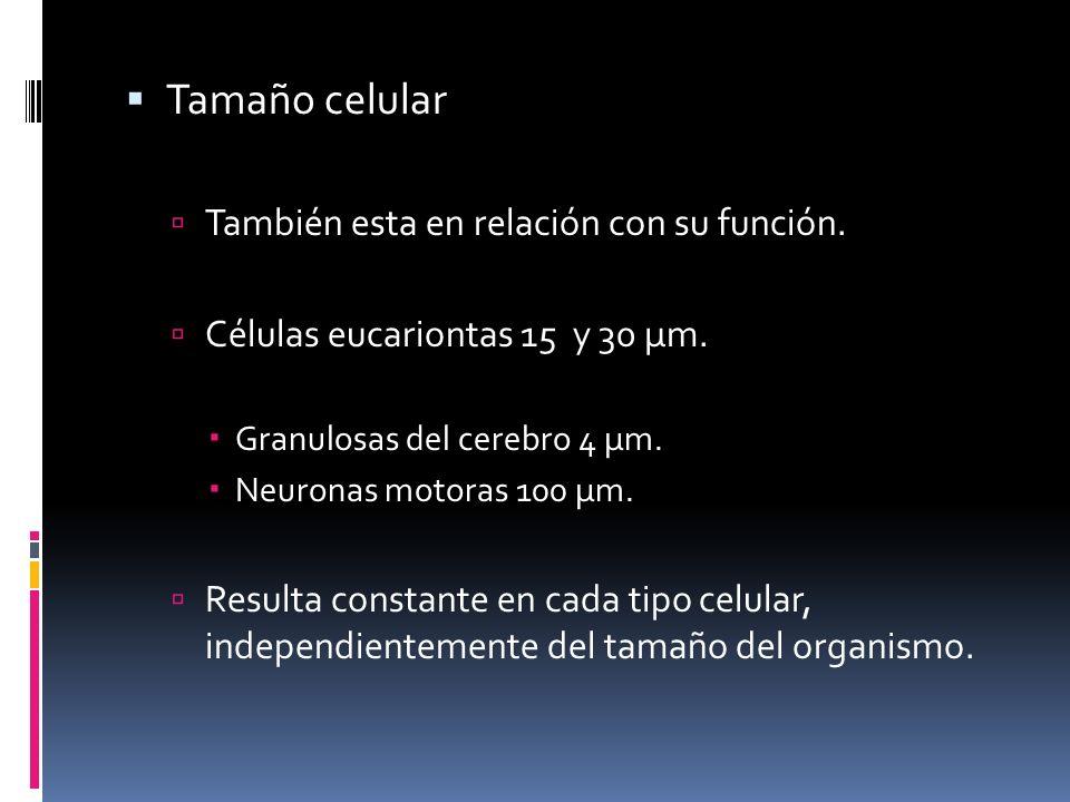 Tamaño celular También esta en relación con su función.