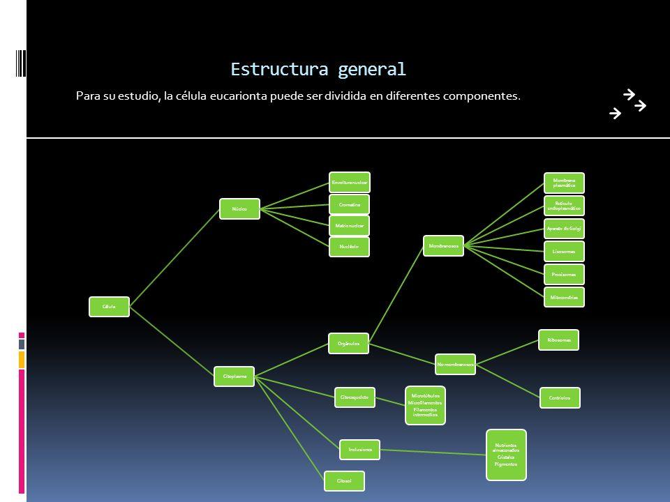 Estructura general Para su estudio, la célula eucarionta puede ser dividida en diferentes componentes.