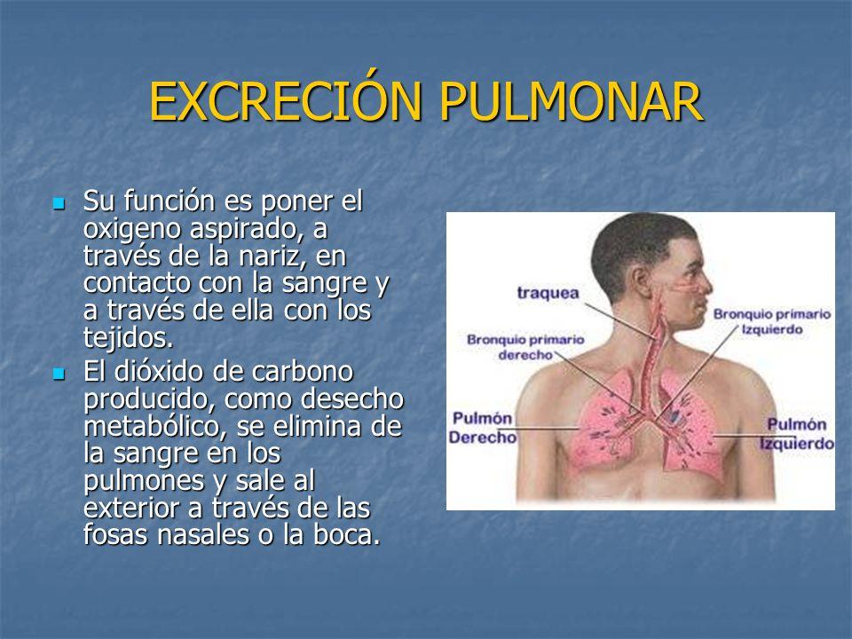 EXCRECIÓN PULMONAR Su función es poner el oxigeno aspirado, a través de la nariz, en contacto con la sangre y a través de ella con los tejidos.