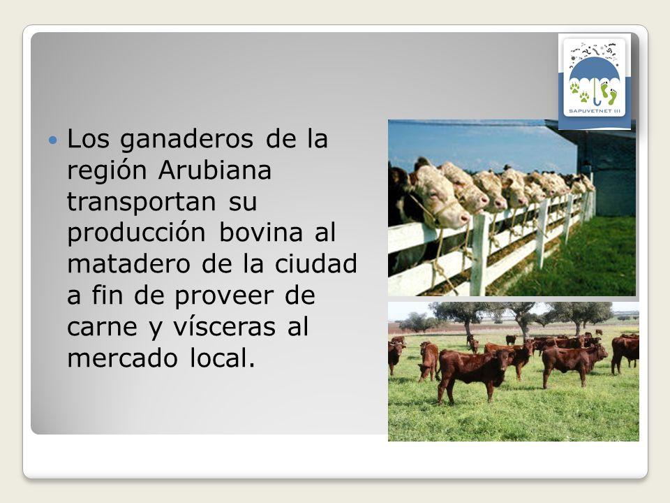 Los ganaderos de la región Arubiana transportan su producción bovina al matadero de la ciudad a fin de proveer de carne y vísceras al mercado local.