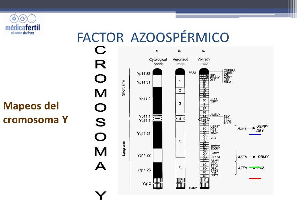 FACTOR AZOOSPÉRMICO Mapeos del cromosoma Y CROMOSOMA Y