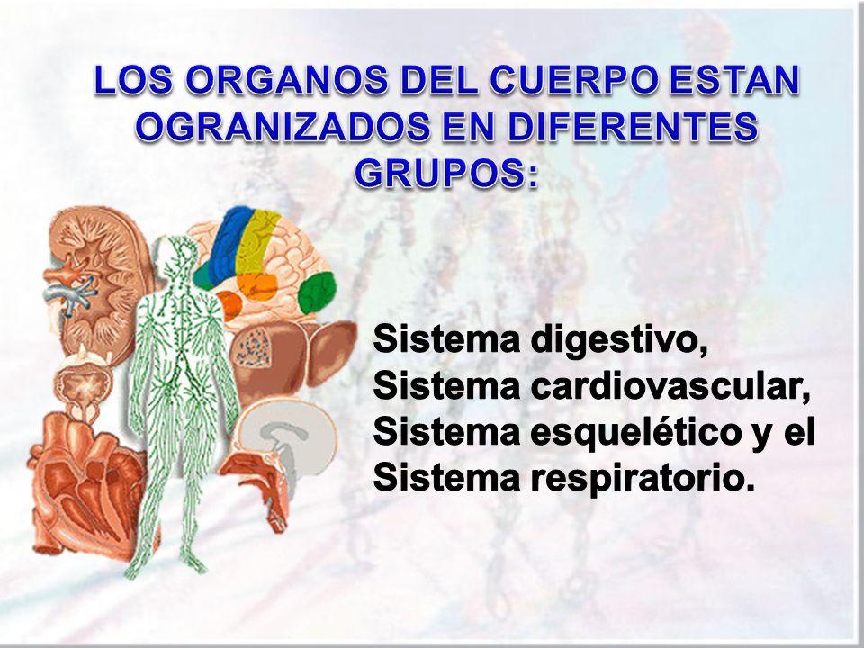 LOS ORGANOS DEL CUERPO ESTAN OGRANIZADOS EN DIFERENTES GRUPOS: