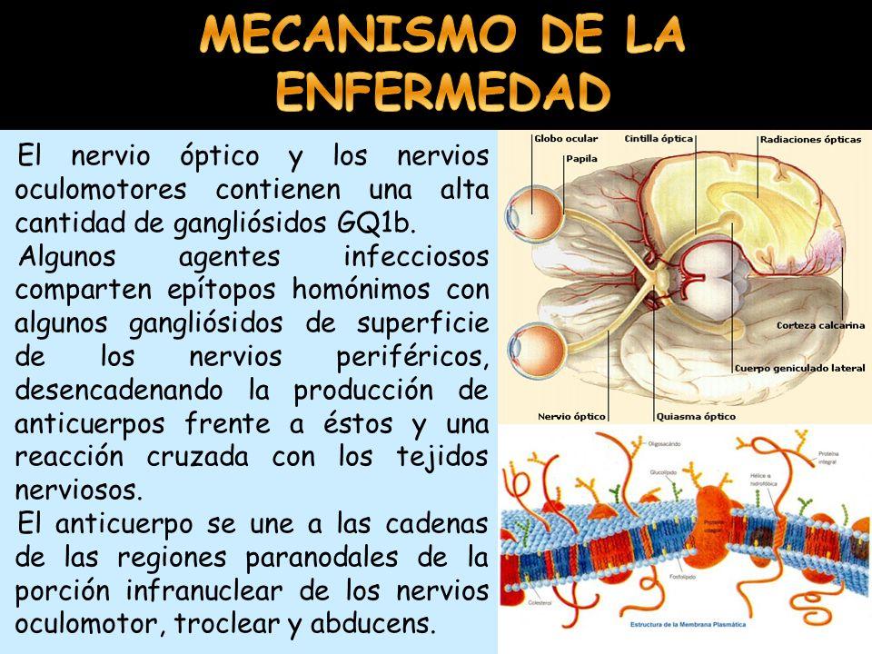 MECANISMO DE LA ENFERMEDAD