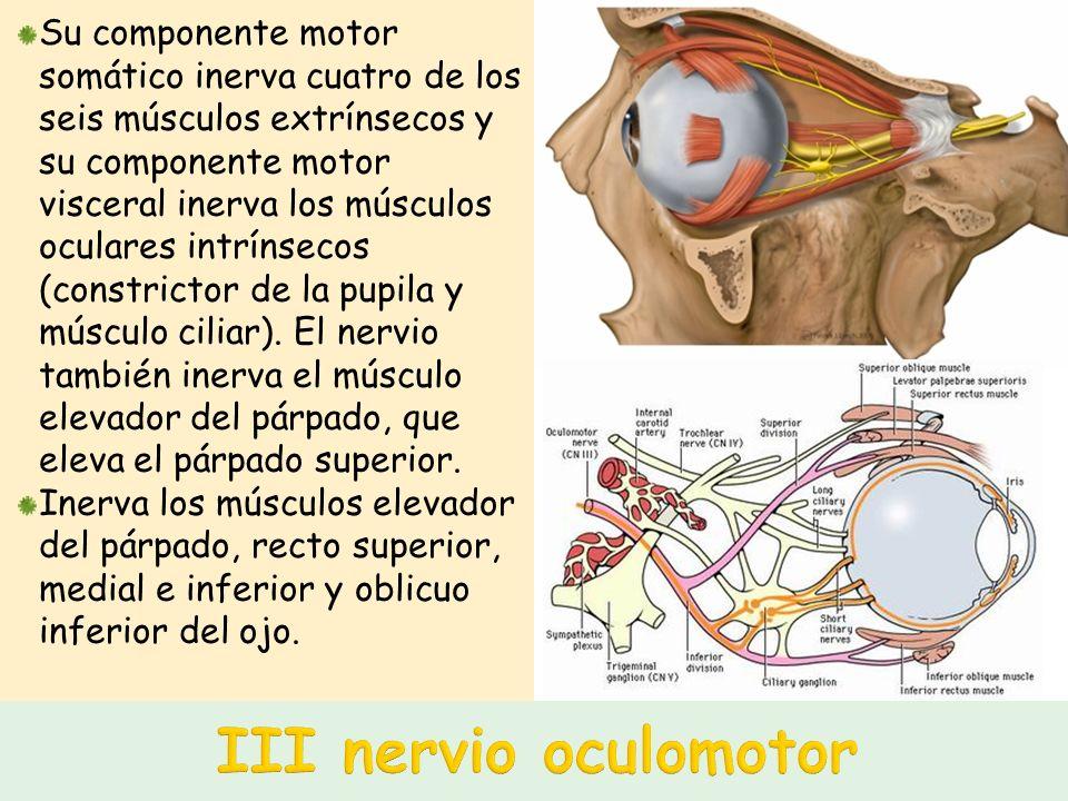 Su componente motor somático inerva cuatro de los seis músculos extrínsecos y su componente motor visceral inerva los músculos oculares intrínsecos (constrictor de la pupila y músculo ciliar). El nervio también inerva el músculo elevador del párpado, que eleva el párpado superior.