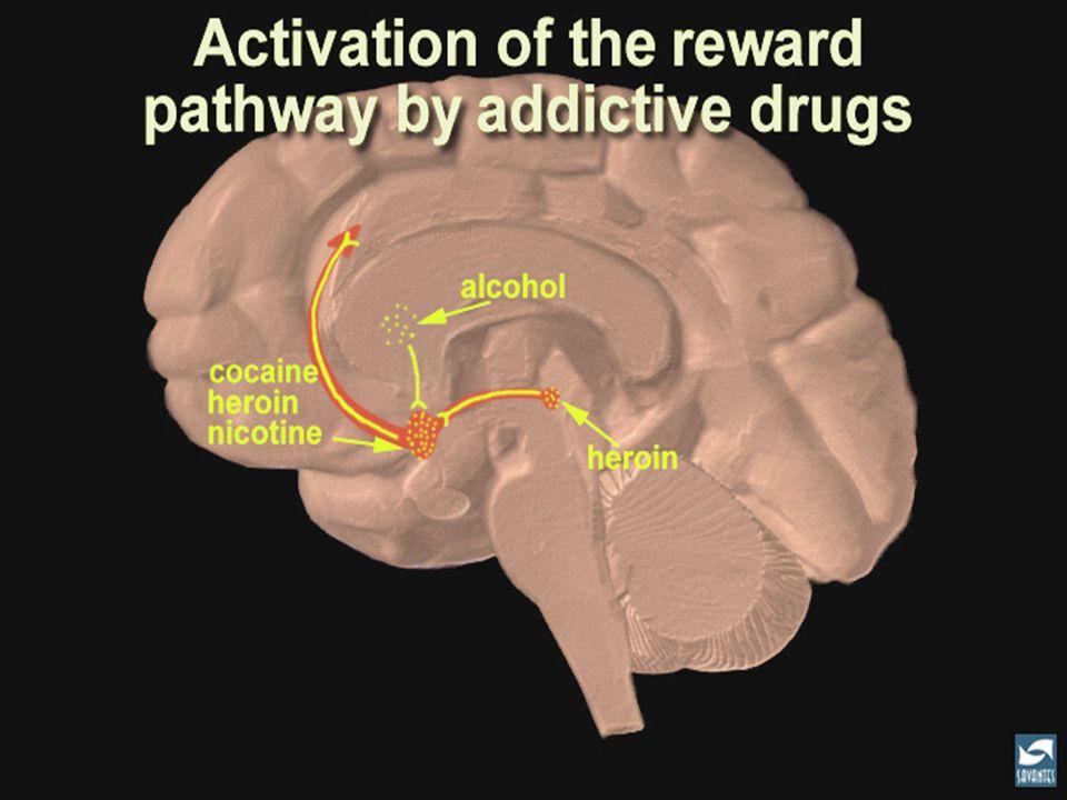 Fijense donde actuan las diferentes substancias adictivas en el circuito del placer, aumentando la secrecion de dopamina y produciendo sensaciones placenteras, en muchas ocasiones mas potentes que las de las actividades autopreservadoras. El alcohol actua a nivel del globus pallidus, que se conecta al circuito.