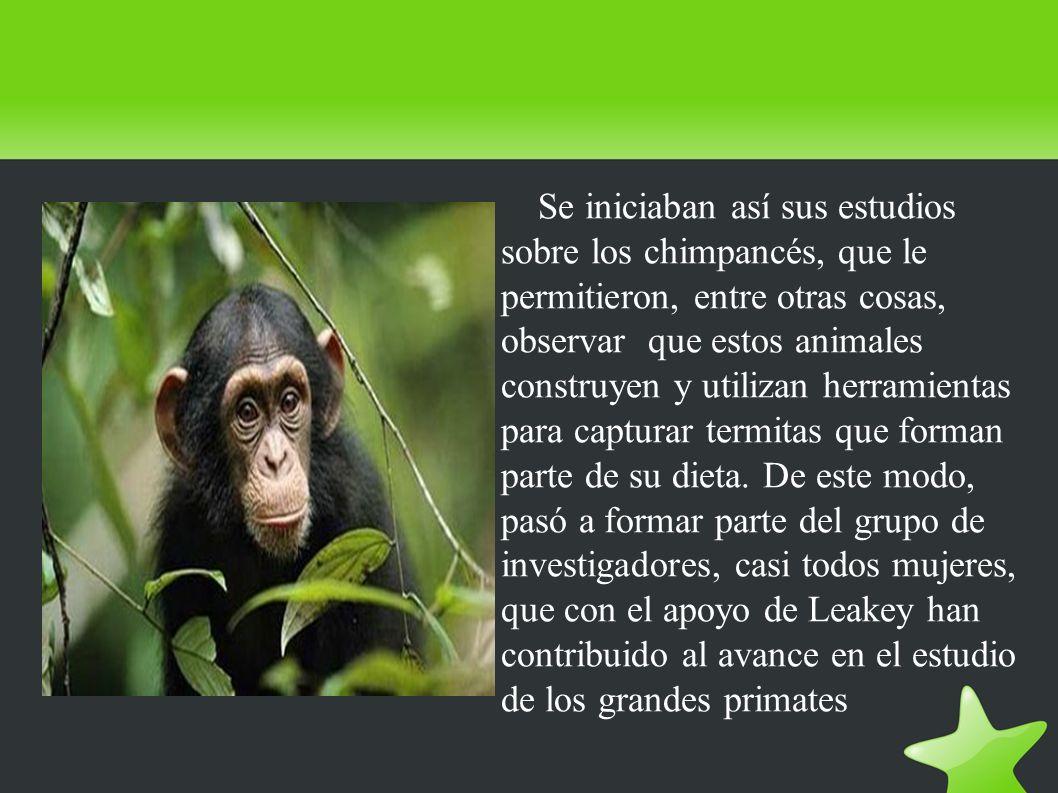 Se iniciaban así sus estudios sobre los chimpancés, que le permitieron, entre otras cosas, observar que estos animales construyen y utilizan herramientas para capturar termitas que forman parte de su dieta.