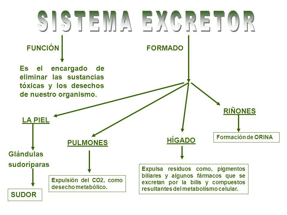 SISTEMA EXCRETOR FUNCIÓN FORMADO