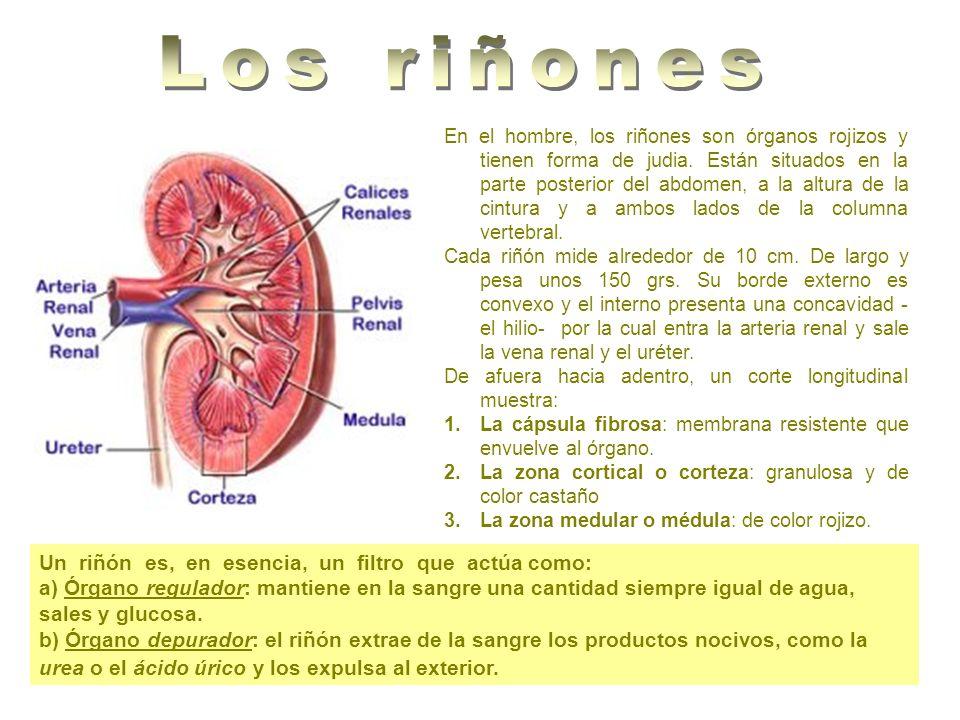 Los riñones Un riñón es, en esencia, un filtro que actúa como: