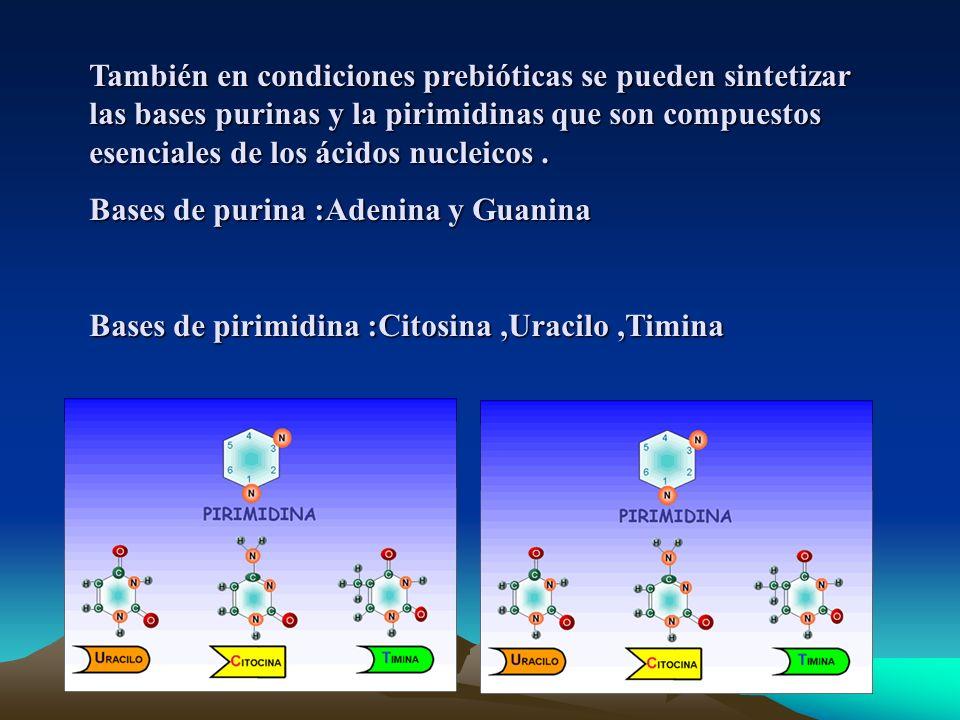 También en condiciones prebióticas se pueden sintetizar las bases purinas y la pirimidinas que son compuestos esenciales de los ácidos nucleicos .
