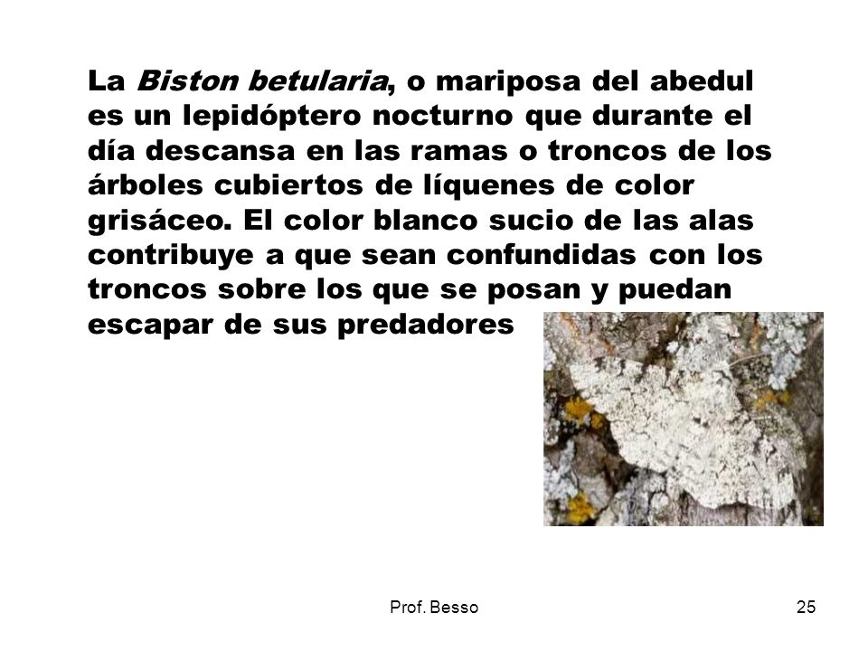 La Biston betularia, o mariposa del abedul es un lepidóptero nocturno que durante el día descansa en las ramas o troncos de los árboles cubiertos de líquenes de color grisáceo. El color blanco sucio de las alas contribuye a que sean confundidas con los troncos sobre los que se posan y puedan escapar de sus predadores