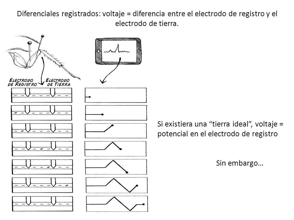 Diferenciales registrados: voltaje = diferencia entre el electrodo de registro y el electrodo de tierra.