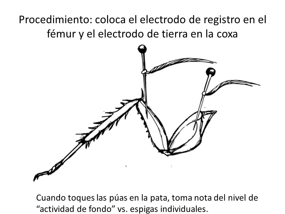 Procedimiento: coloca el electrodo de registro en el fémur y el electrodo de tierra en la coxa