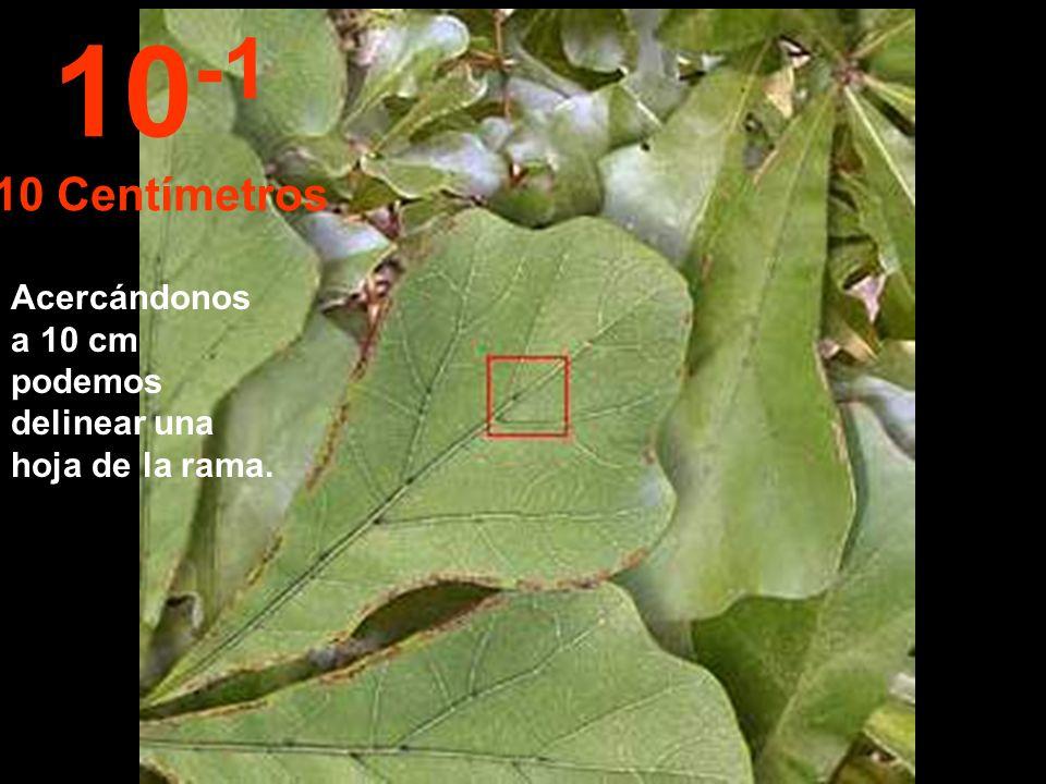 10-1 10 Centímetros Acercándonos a 10 cm podemos delinear una hoja de la rama.
