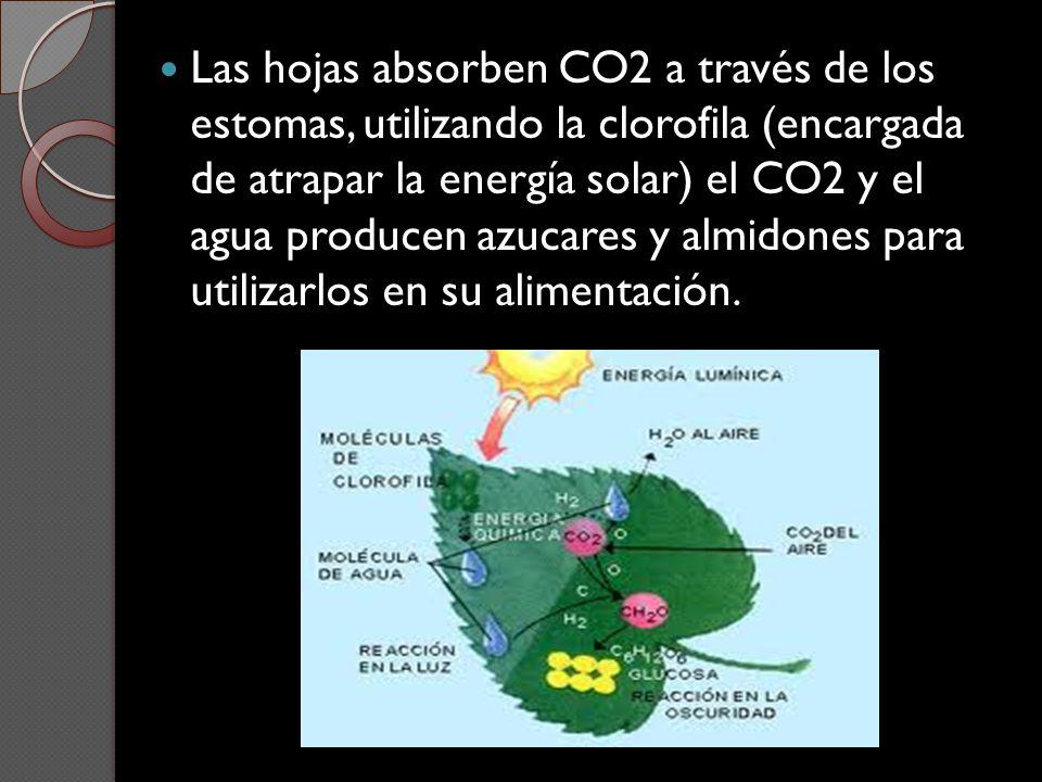 Las hojas absorben CO2 a través de los estomas, utilizando la clorofila (encargada de atrapar la energía solar) el CO2 y el agua producen azucares y almidones para utilizarlos en su alimentación.