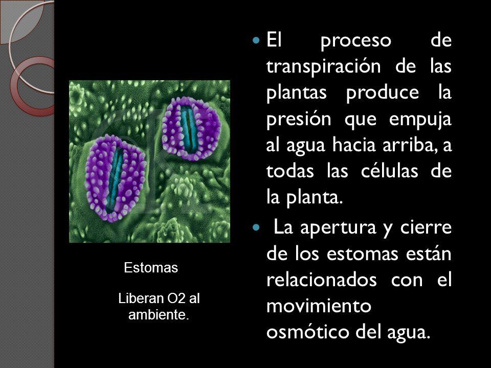 El proceso de transpiración de las plantas produce la presión que empuja al agua hacia arriba, a todas las células de la planta.