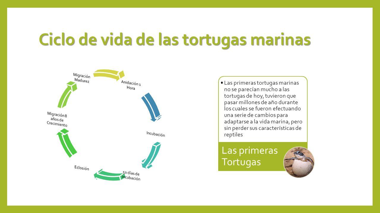 Ciclo de vida de las tortugas marinas