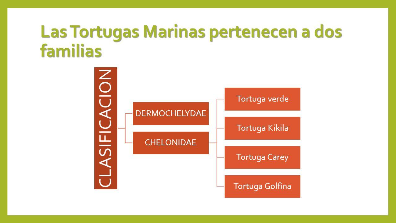 Las Tortugas Marinas pertenecen a dos familias