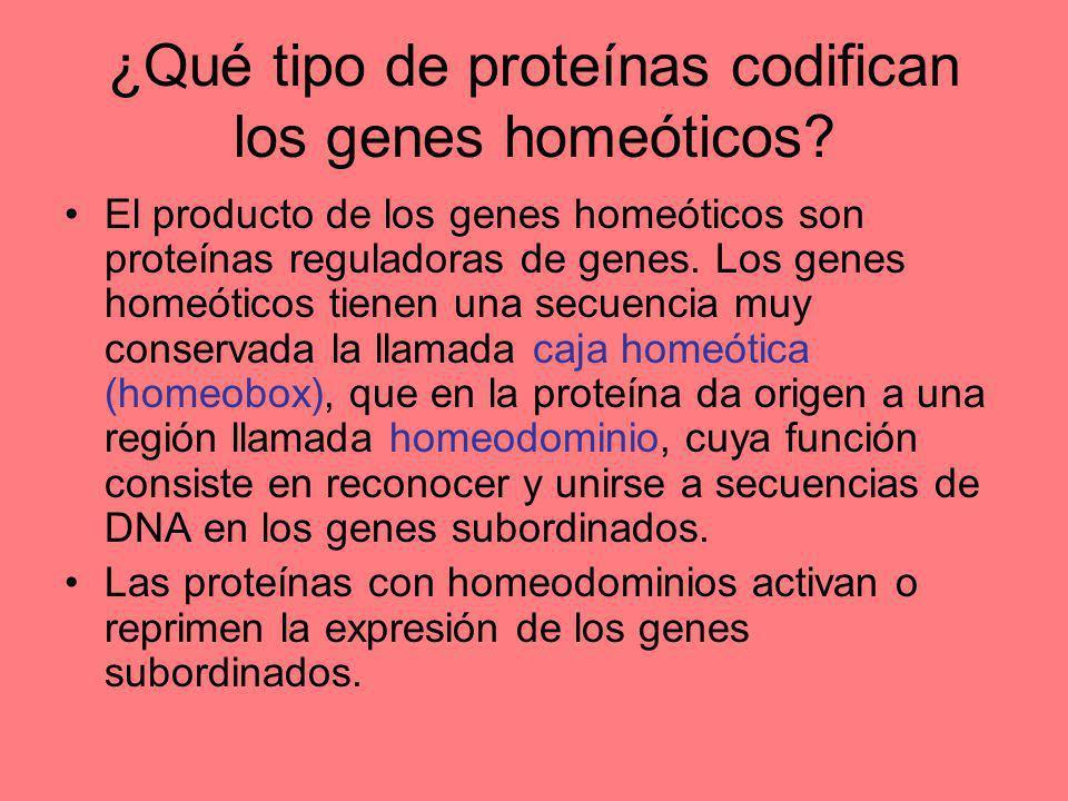 ¿Qué tipo de proteínas codifican los genes homeóticos