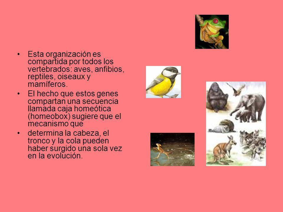 Esta organización es compartida por todos los vertebrados: aves, anfibios, reptiles, oiseaux y mamíferos.