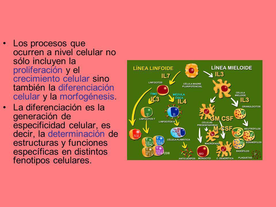 Los procesos que ocurren a nivel celular no sólo incluyen la proliferación y el crecimiento celular sino también la diferenciación celular y la morfogénesis.