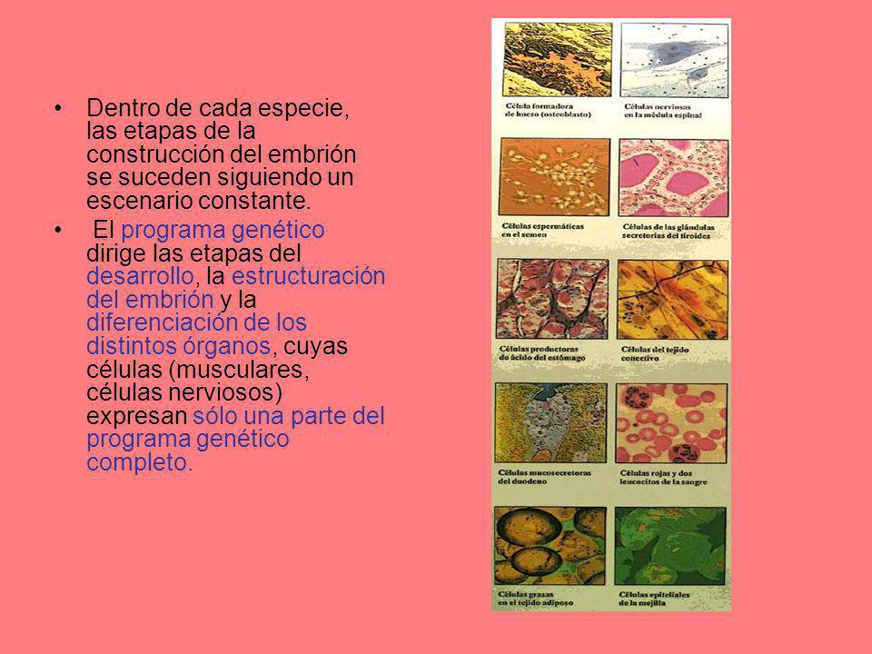 Dentro de cada especie, las etapas de la construcción del embrión se suceden siguiendo un escenario constante.