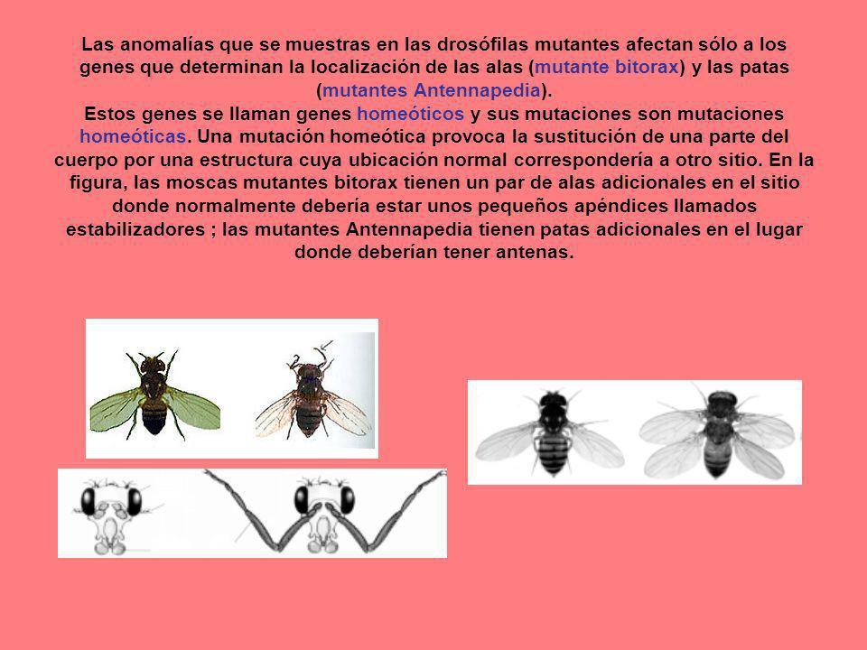 Las anomalías que se muestras en las drosófilas mutantes afectan sólo a los genes que determinan la localización de las alas (mutante bitorax) y las patas (mutantes Antennapedia).