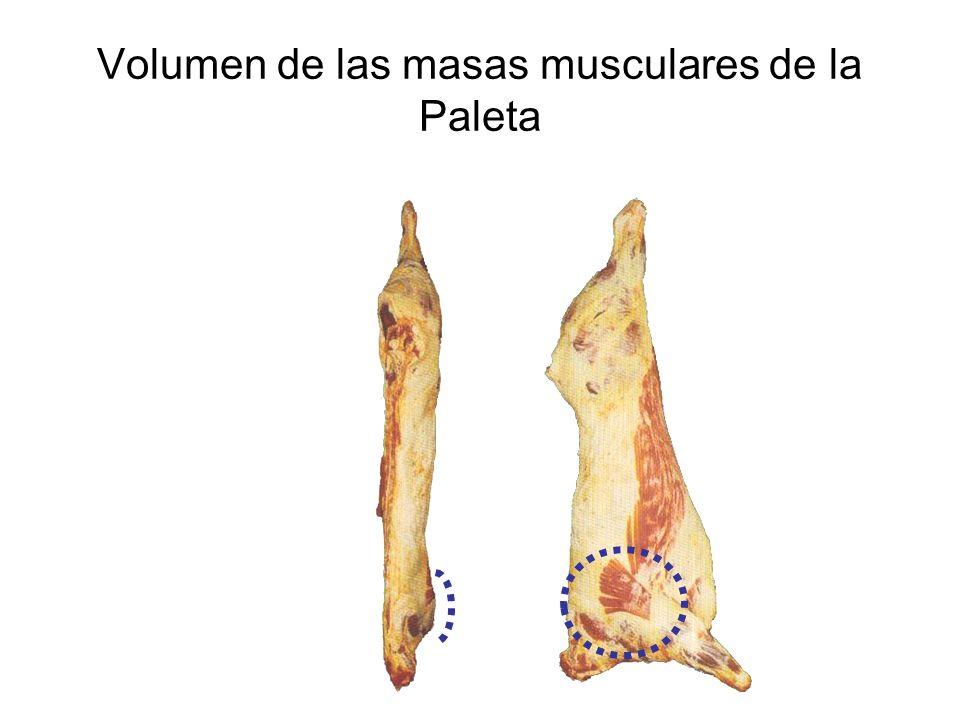 Volumen de las masas musculares de la Paleta