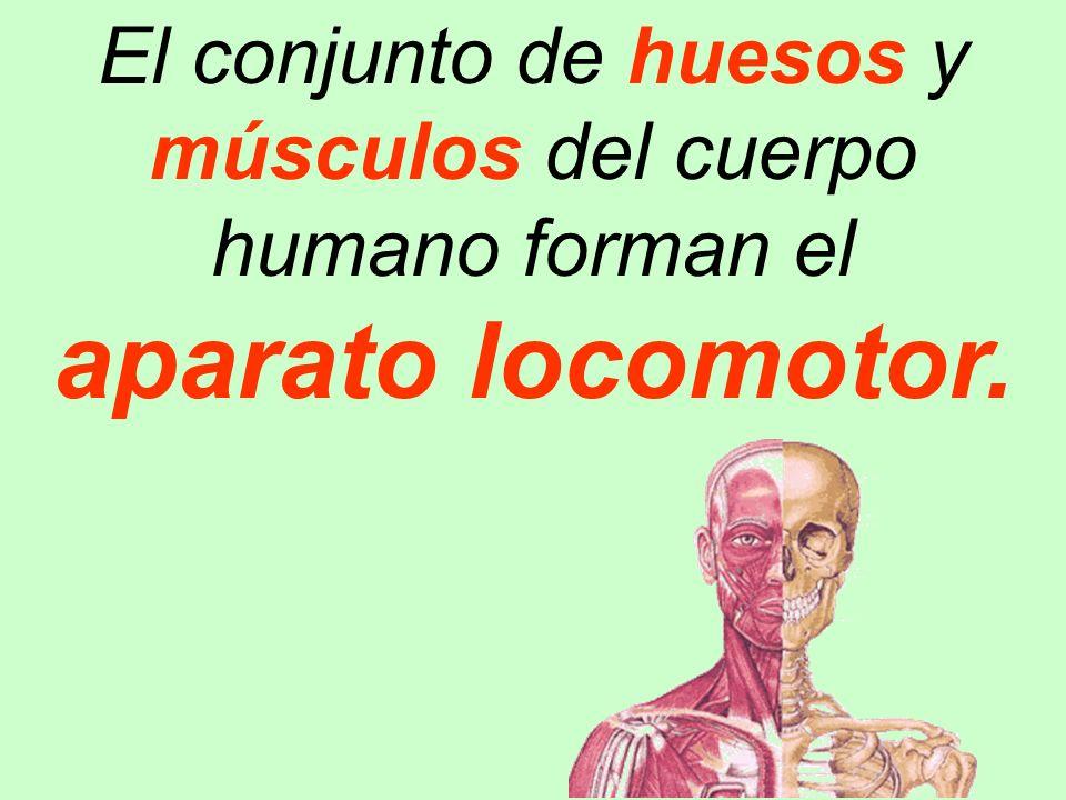El conjunto de huesos y músculos del cuerpo humano forman el