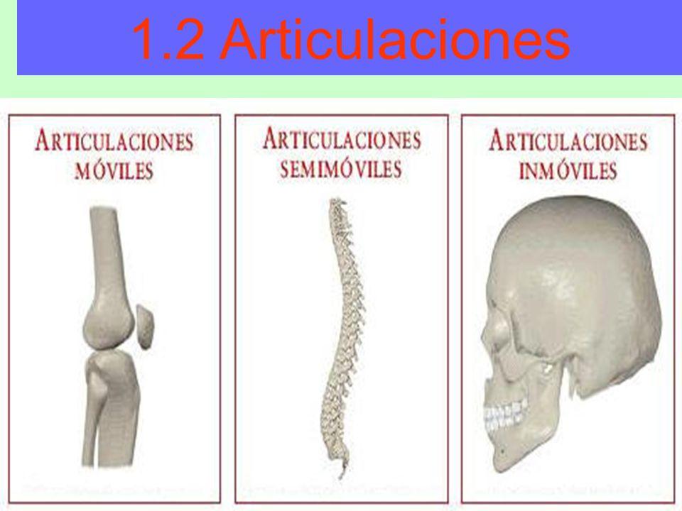 1.2 Articulaciones