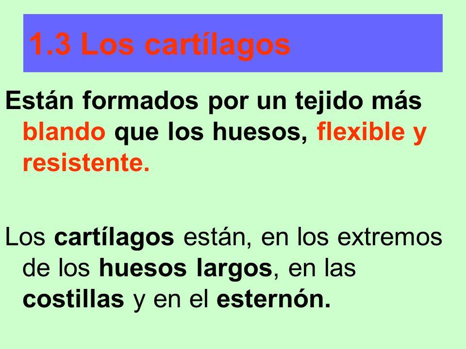 1.3 Los cartílagos Están formados por un tejido más blando que los huesos, flexible y resistente.