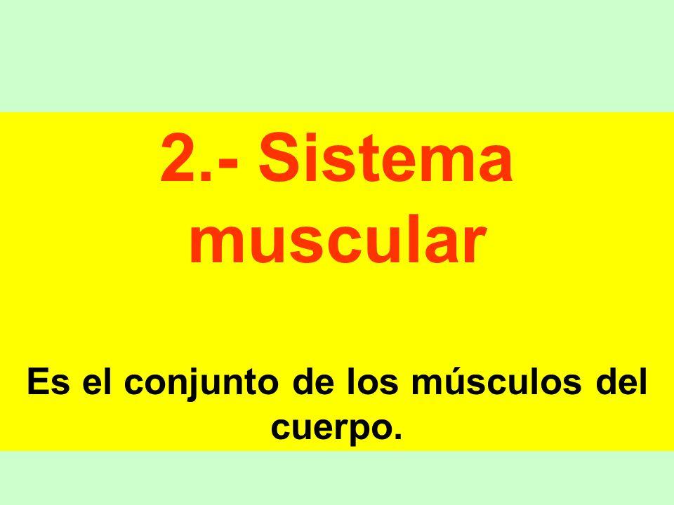 Es el conjunto de los músculos del cuerpo.
