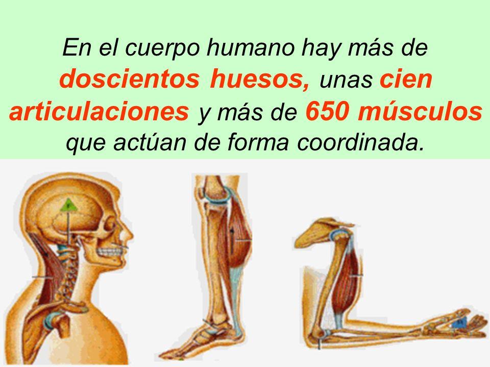 En el cuerpo humano hay más de doscientos huesos, unas cien articulaciones y más de 650 músculos que actúan de forma coordinada.