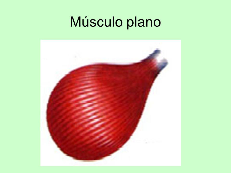 Músculo plano