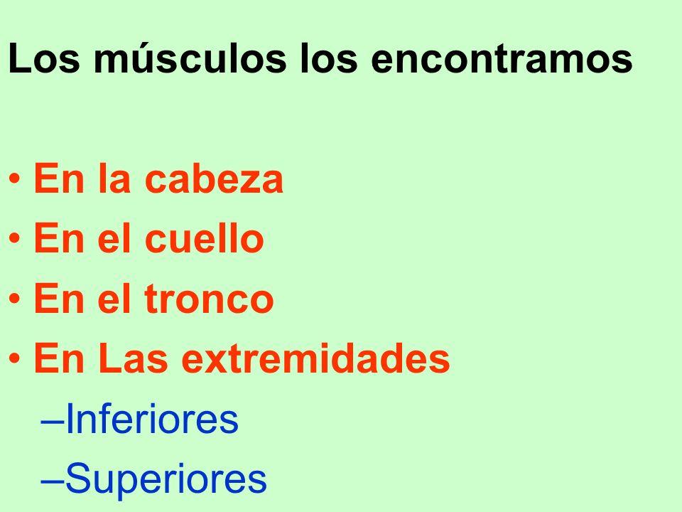 Los músculos los encontramos