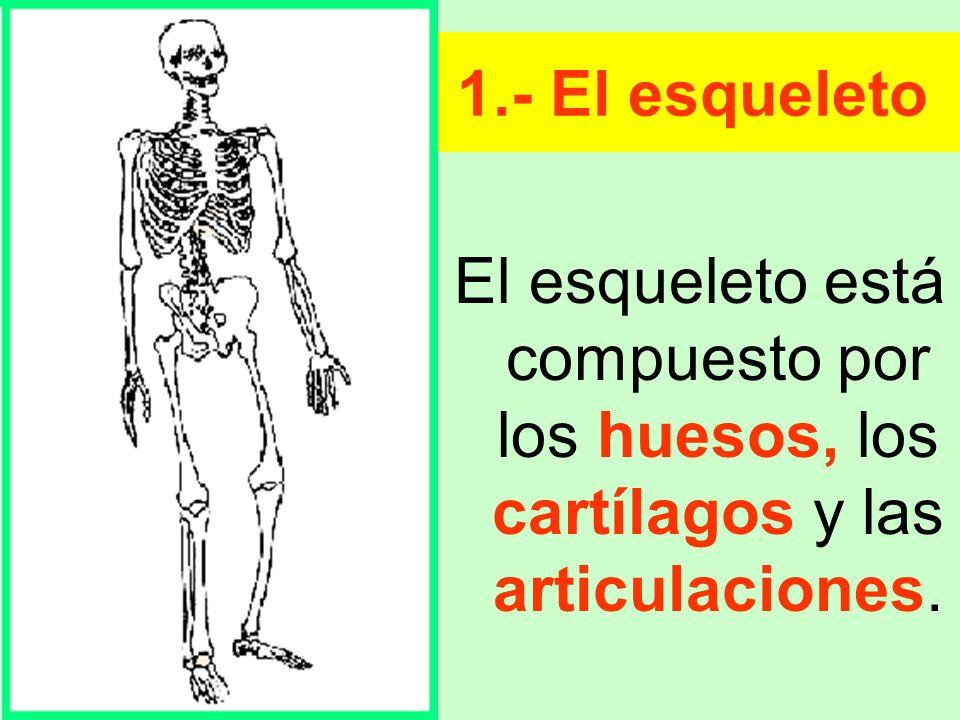 1.- El esqueleto El esqueleto está compuesto por los huesos, los cartílagos y las articulaciones.