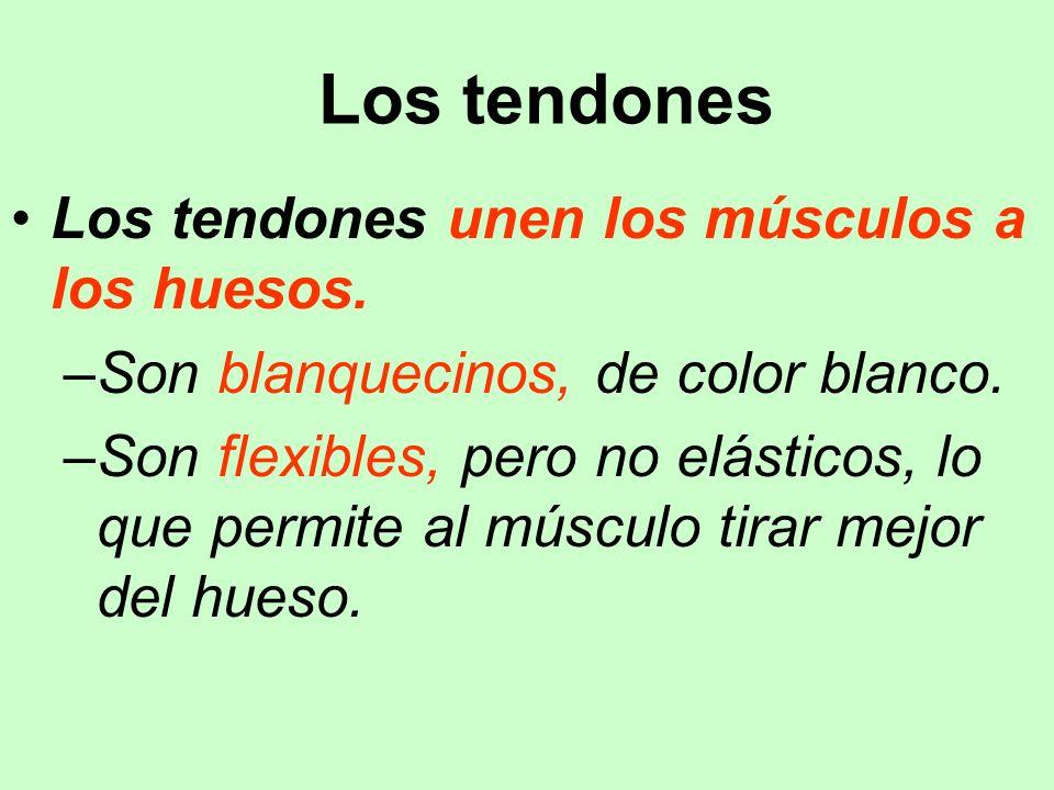 Los tendones Los tendones unen los músculos a los huesos.